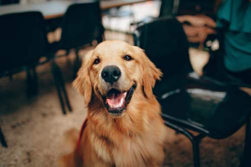what-kind-health-problems-do-golden-retrievers-have